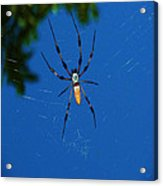Not-so Itsy-bitsy Spider Acrylic Print