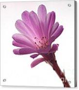 Notocactus Herderii Flower Acrylic Print