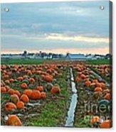 November Pumpkins Acrylic Print