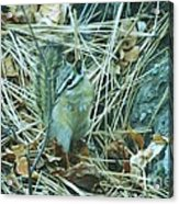 Now Just Where Did I Put That Acorn Acrylic Print