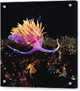 Nudibranch Brightly Colored Arctic Ocean Acrylic Print