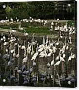 Number Of Flamingoes Inside The Jurong Bird Park In Singapore Acrylic Print