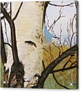 Nuthatch On A Silver Birch 2 Acrylic Print