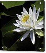 Nymphaea Marliacea 'albida' Acrylic Print