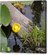 Nymphaea Odorata In Yellow Acrylic Print
