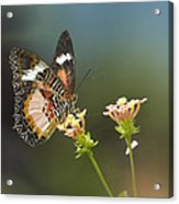 Nymphalid Butterfly Cethosia Luzonica Acrylic Print