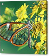 Nymphalid Butterfly Pteronymia Sp Acrylic Print
