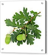 Oak Branch With Acorns Acrylic Print by Elena Elisseeva