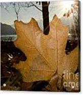 Oak Leaf In Backlight Acrylic Print