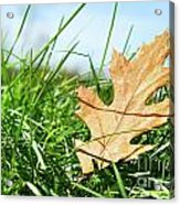 Oak Leaf In The Grass Acrylic Print