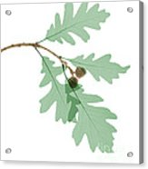 Oak Leaves, X-ray Acrylic Print