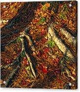 Oak Tree Roots And Pine Needles Acrylic Print by Raymond Gehman