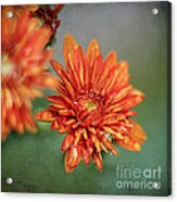 October Mums Acrylic Print by Darren Fisher
