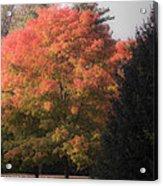 October Sunlight On Tree Tops Acrylic Print