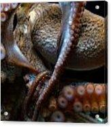 Octopus 1  Acrylic Print