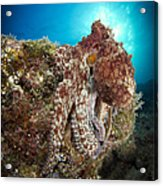 Octopus Posing On Reef, La Paz, Mexico Acrylic Print