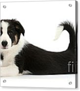 Odd-eyed Border Collie Pup Acrylic Print