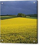 Oilseed Rape Crop (brassica Napus) Acrylic Print