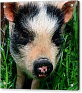 Oink-ing It Up... Acrylic Print