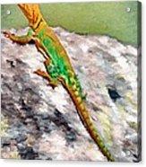 Oklahoma Collared Lizard Acrylic Print by Jeff Kolker