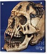 Old Bone's Skull On Blue Cloth Acrylic Print