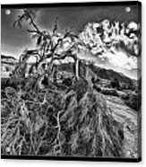 Old Desert Tree Acrylic Print