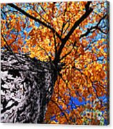 Old Elm Tree In The Fall Acrylic Print