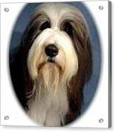 Old English Sheepdog 852 Acrylic Print