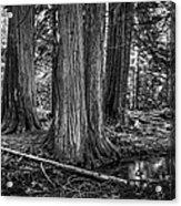 Old Growth Cedar Trees - Montana Acrylic Print