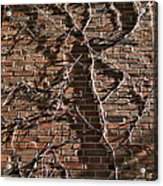 Old Ivy Acrylic Print