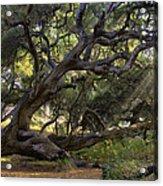 Old Oak Acrylic Print