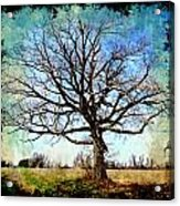 Old Oak Tree Acrylic Print