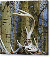 Old Skull And Antlers Acrylic Print