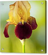 Old Time Two Toned Burgundy And Gold Iris Acrylic Print