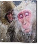 Older Snow Monkey Being Groomed By A Acrylic Print