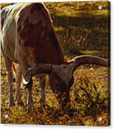 Older Texas Long Horn  Acrylic Print