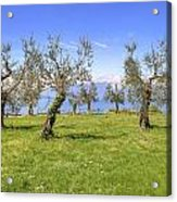 olive grove on Lake Gardan Acrylic Print