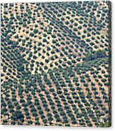 Olive Groves, Andalusia, Southern Spain. Acrylic Print