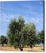 Olive Tree In Provence Acrylic Print