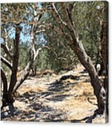 Olive Trees At Sebastia Acrylic Print