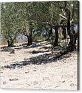 Olive Trees In Sebastia Nablus Acrylic Print