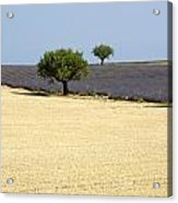 Olive Trees. Provence Acrylic Print
