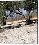 Olive Trees Standing Alone Acrylic Print