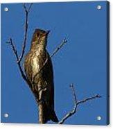 Olivesided Flycatcher Acrylic Print