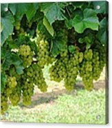 On The Vine - Before The Wine Acrylic Print