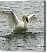 On The Wings Of A Swan Acrylic Print