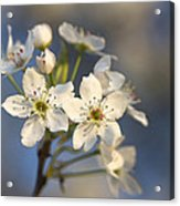 One Fine Morning In Bradford Pear Blossoms Acrylic Print