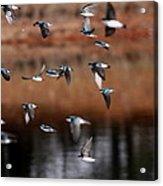 One Last Swallow Acrylic Print