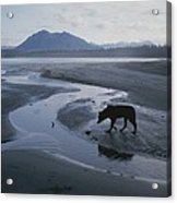 One Of Vargas Islands Habituated Wolves Acrylic Print