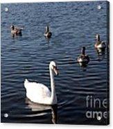 One Swan Six Ducks Acrylic Print